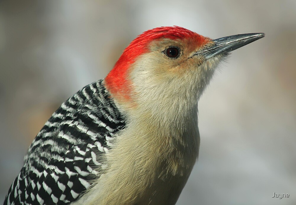 Red-bellied Woodpecker by Jayne