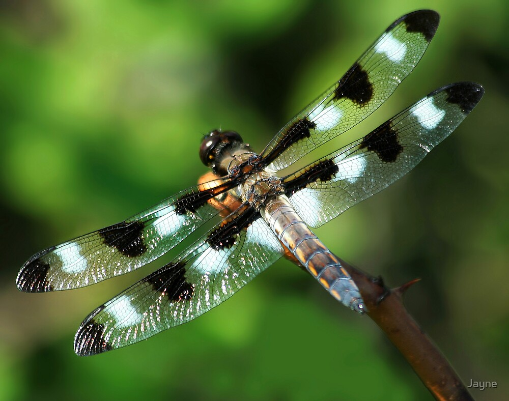 Twelve-spotted Skimmer by Jayne