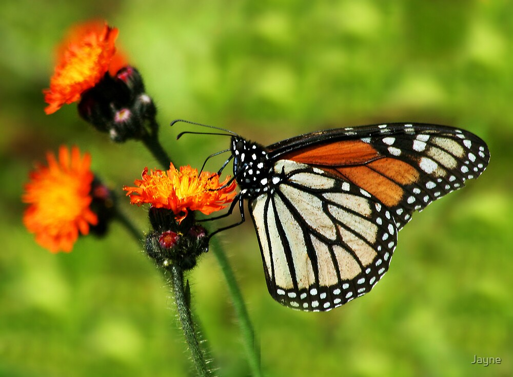Monarch on Orange Hawkweed by Jayne