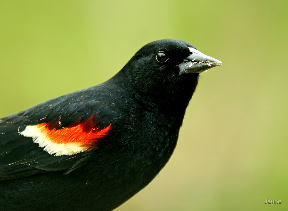 Red-Winged Blackbird by Jayne