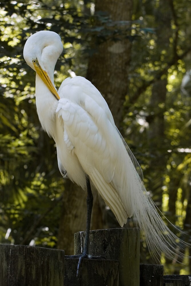 Great Egret With Bent Head by Delores Knowles