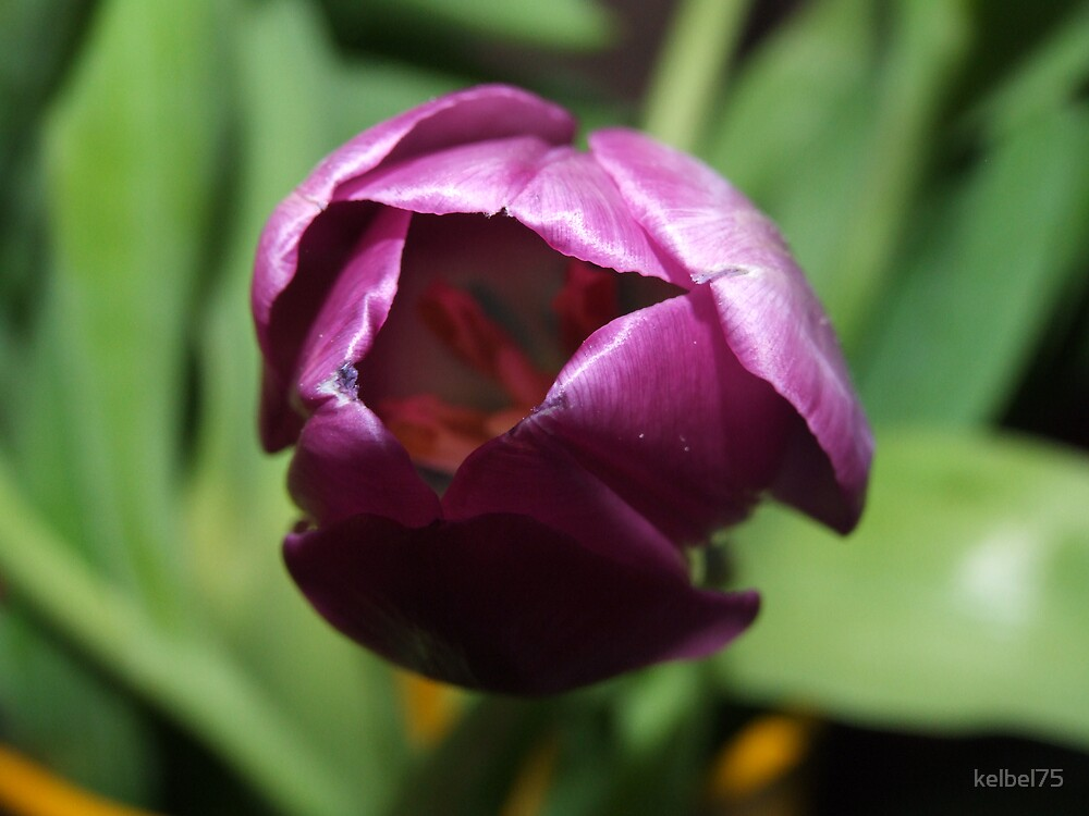 Purple Tulip by kelbel75