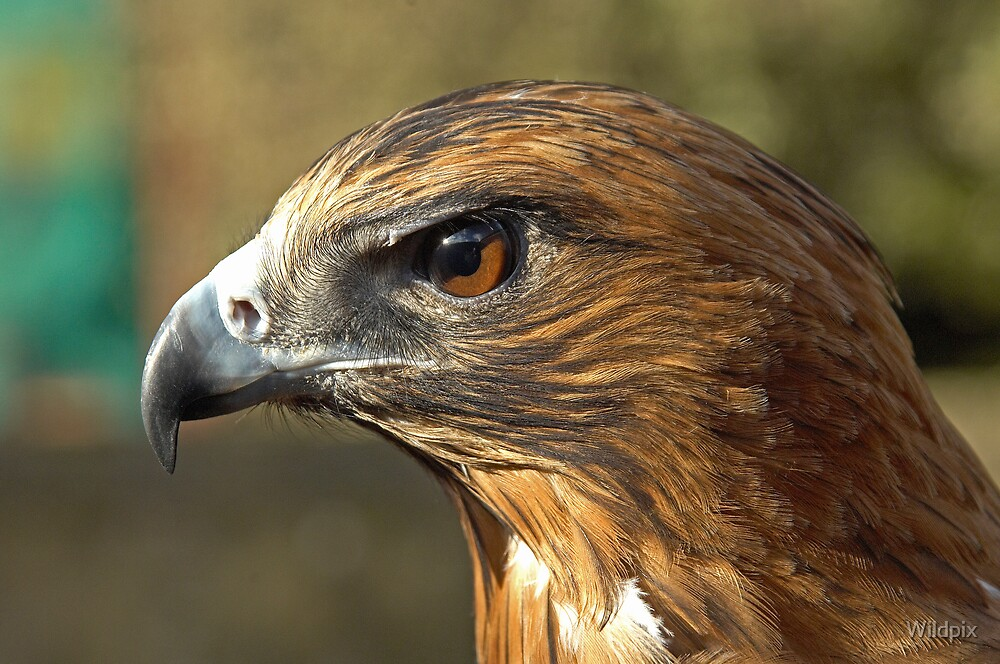 Eagle Eye by Wildpix