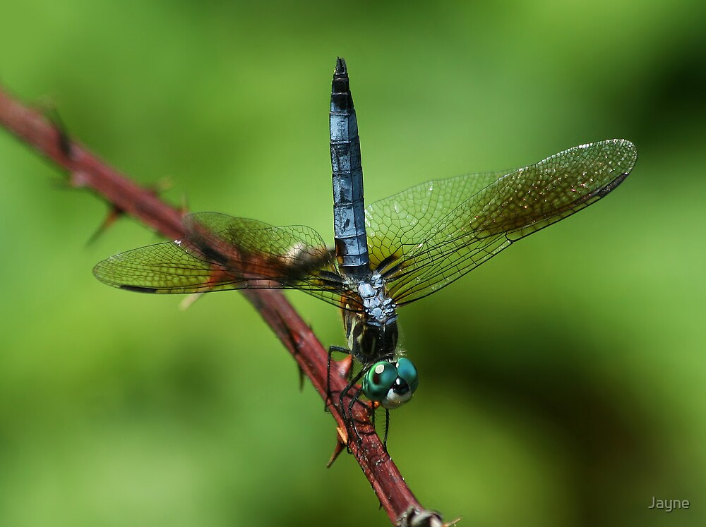 Blue Dasher by Jayne