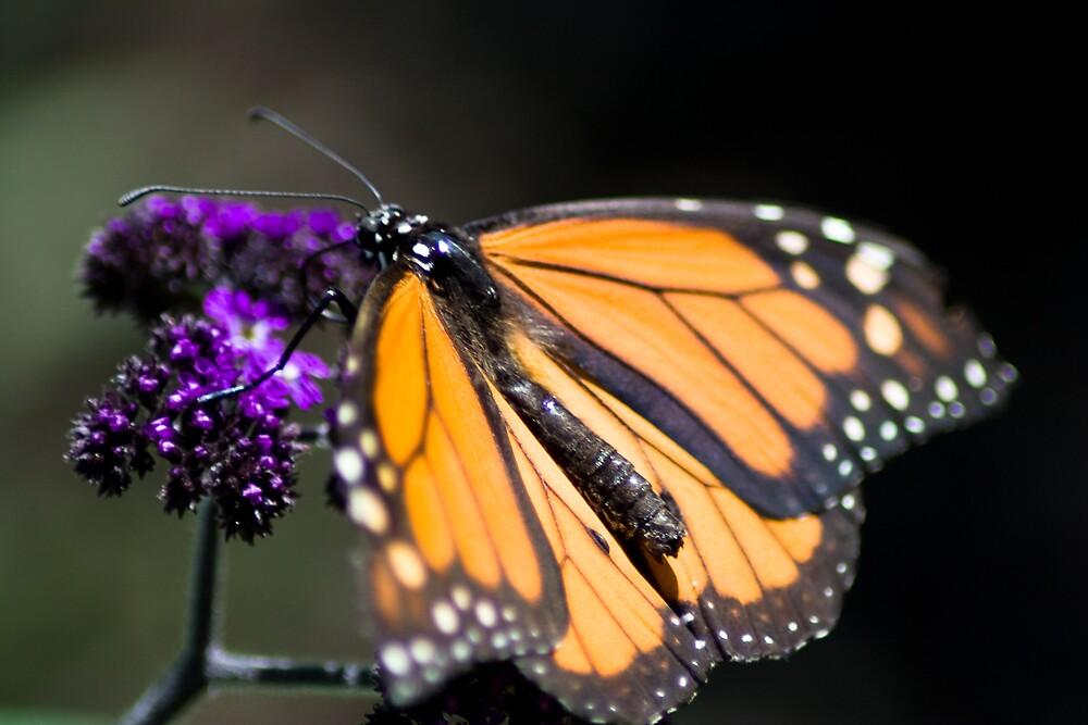 Monarch by Paul Szymiczek