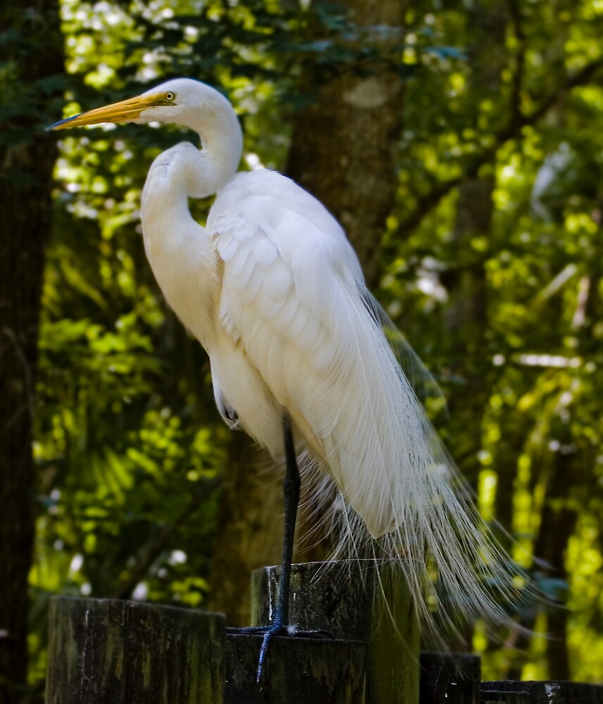 Great Egret by Delores Knowles