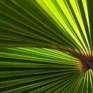 Sunlight through Palm Leaf #2 by farmboy