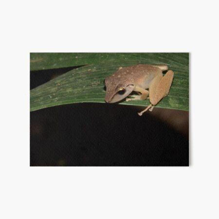 Robber Frog, Parque Nacional del Manu, Peru Art Board Print