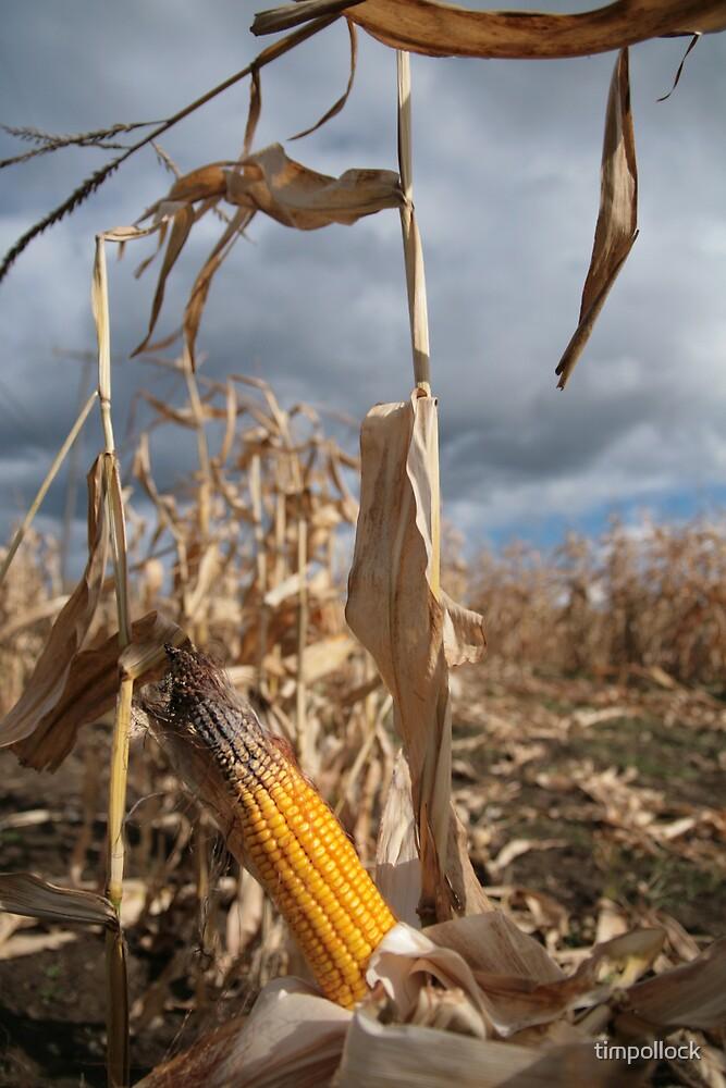 Last corn of the season by timpollock