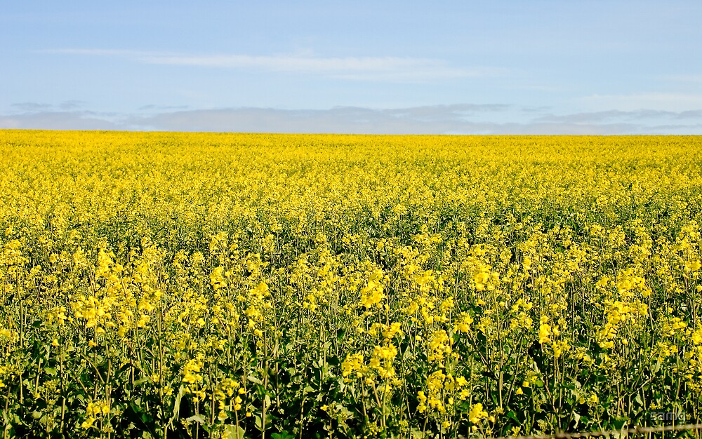 Fields of Yellow III by samg