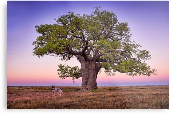 One Mile Dinner Camp Tree - Kimberley WA by Ian English
