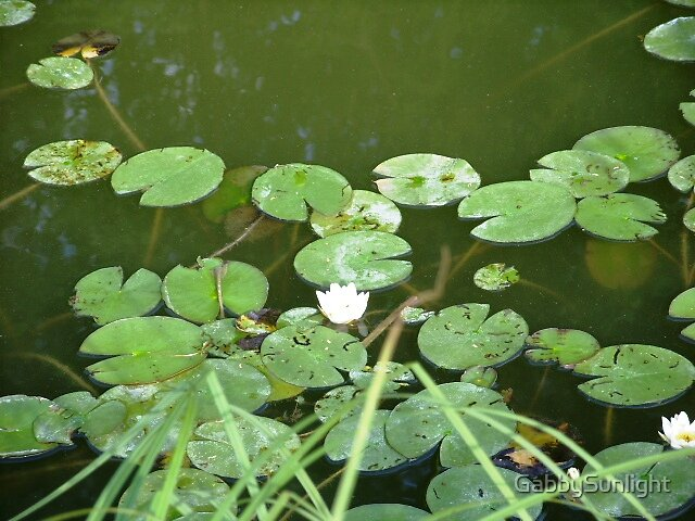 A small pond..water lily by GabbySunlight