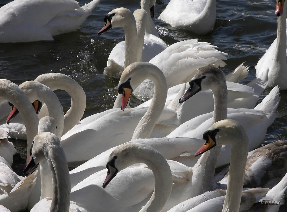 Swans by Ceasar