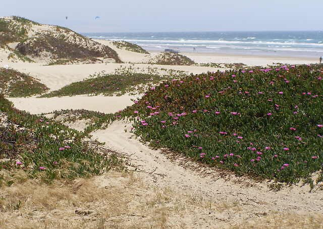Blooms on the Pismo Dunes by trin174