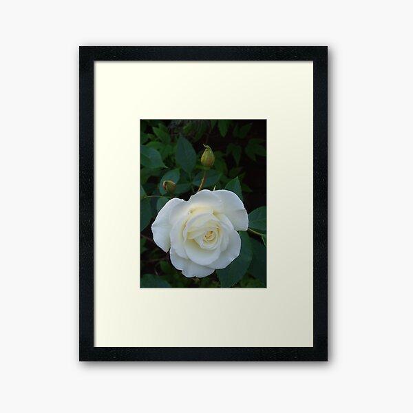 English Rose Framed Art Print