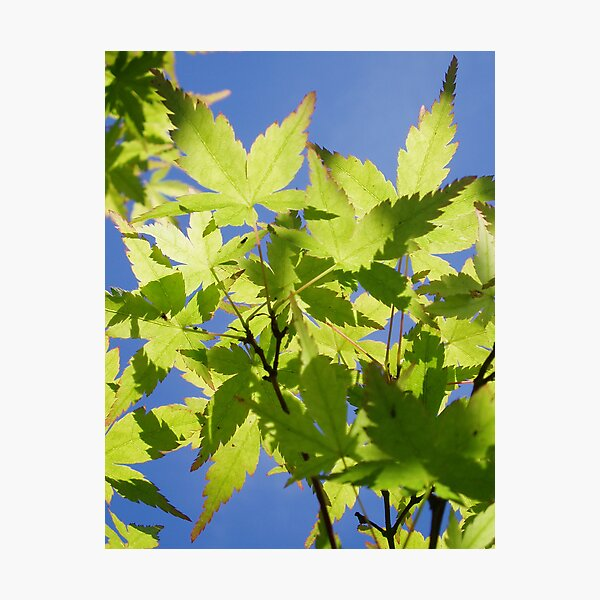 Acer Japonica Photographic Print