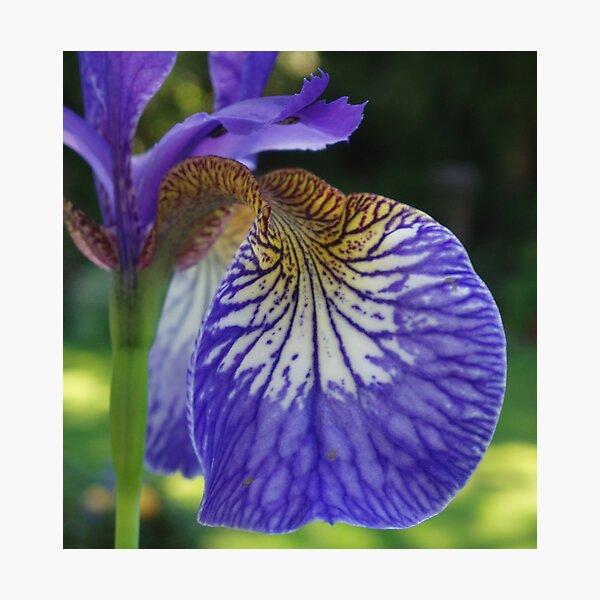 Purple Iris Photographic Print