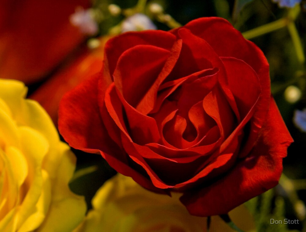 Red Rose by Don Stott