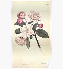 The Botanical magazine, or, Flower garden displayed by William Curtis V7 V8 1794 0109 Pyrus Spectabilis, Chinese Apple Tree Poster