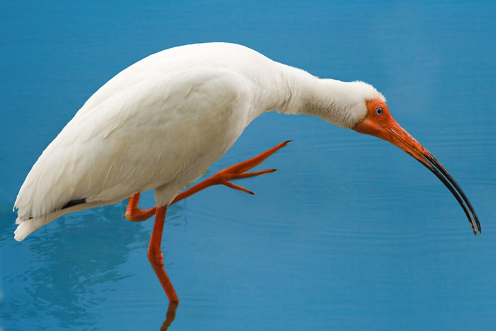 White Ibis Scratching An Itch by Delores Knowles