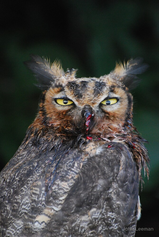 Owl Close-up by John Leeman