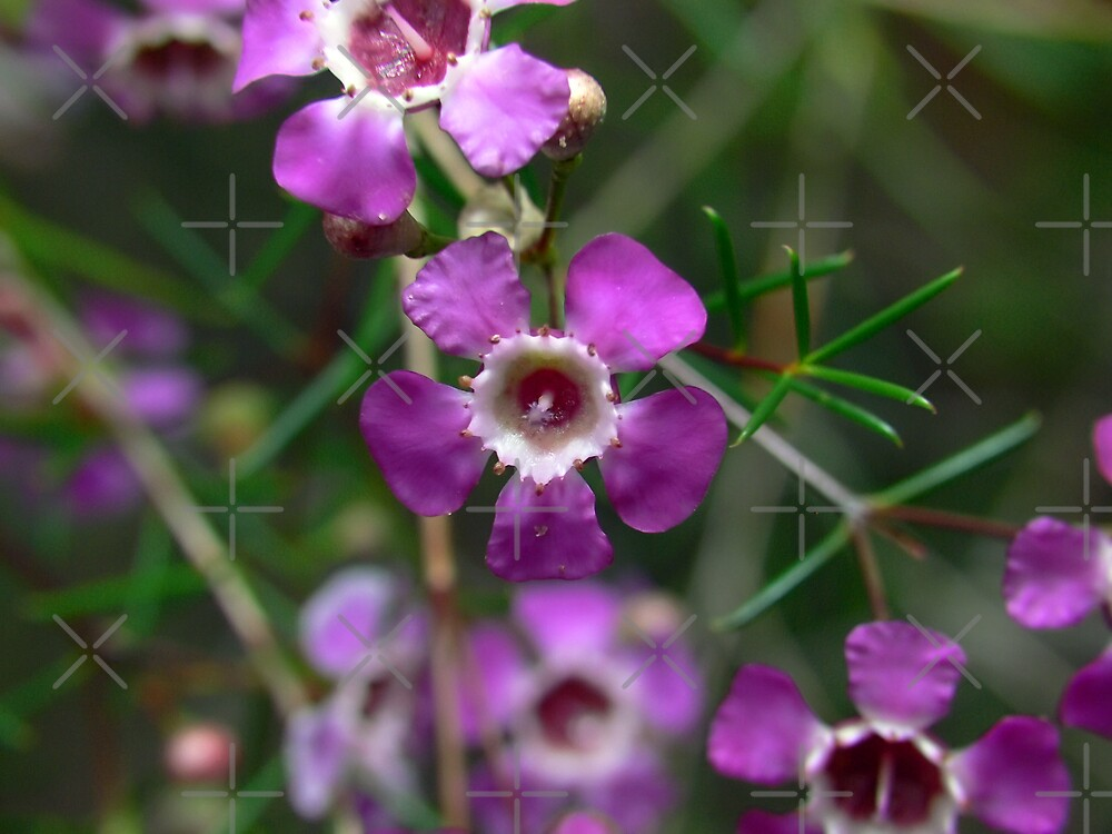 Geraldton Wax Blossom - Purple by Sandra Chung
