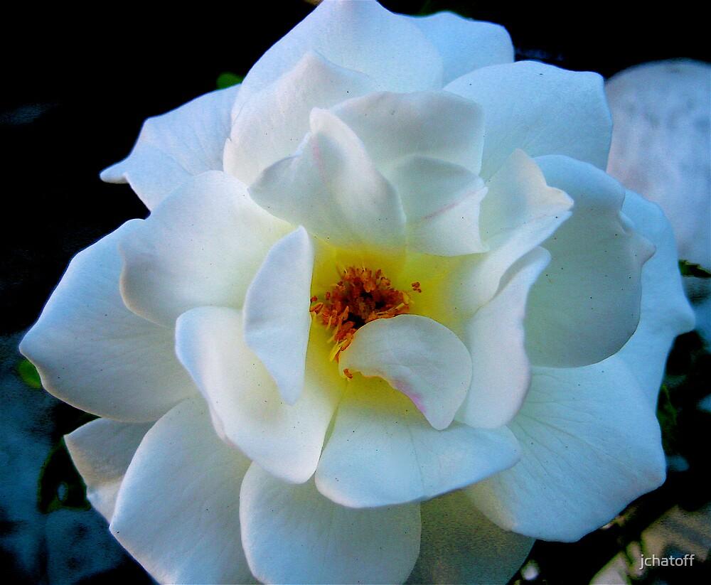 white rose by jchatoff