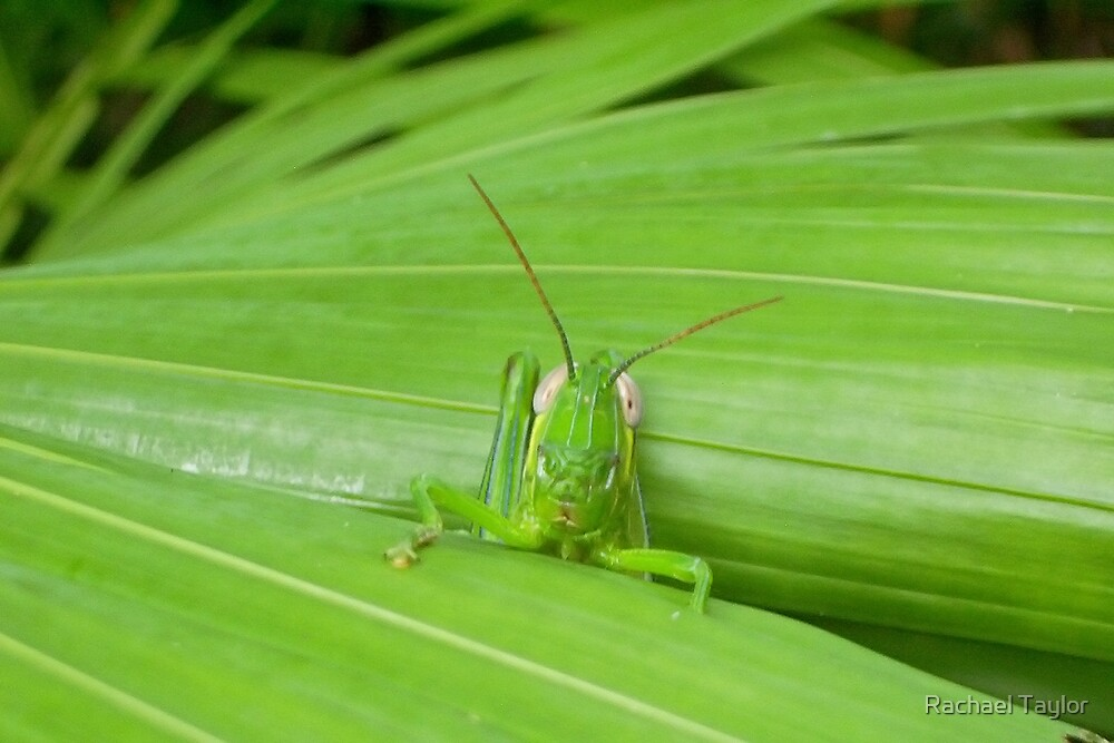 Grasshopper by Rachael Taylor