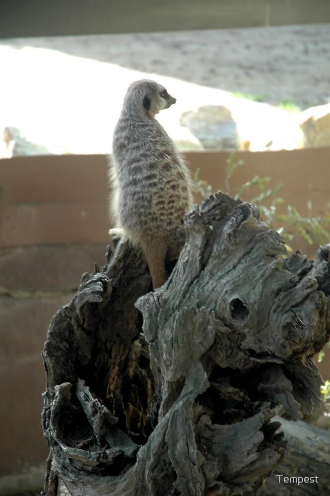 Adelaide Zoo - Meerkat by Tempest