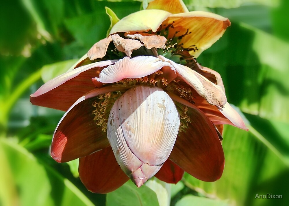 Banana Flower by AnnDixon