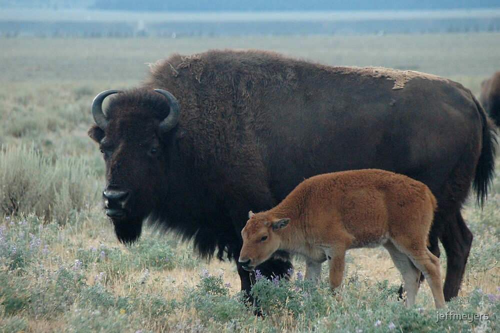 Bison by jeffmeyers