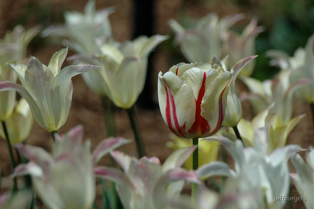 Tulips by jeffmeyers