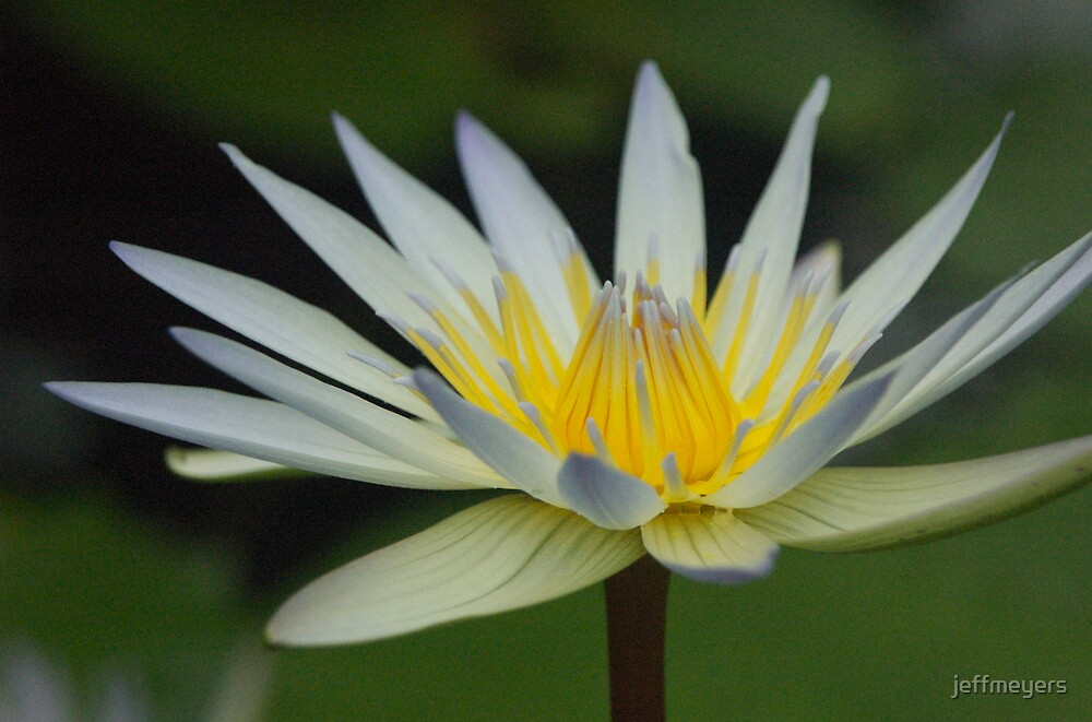 Water Lily by jeffmeyers