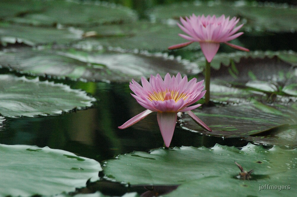 Pink Water Lilies by jeffmeyers