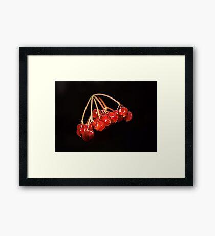 Guelder Rose Framed Print