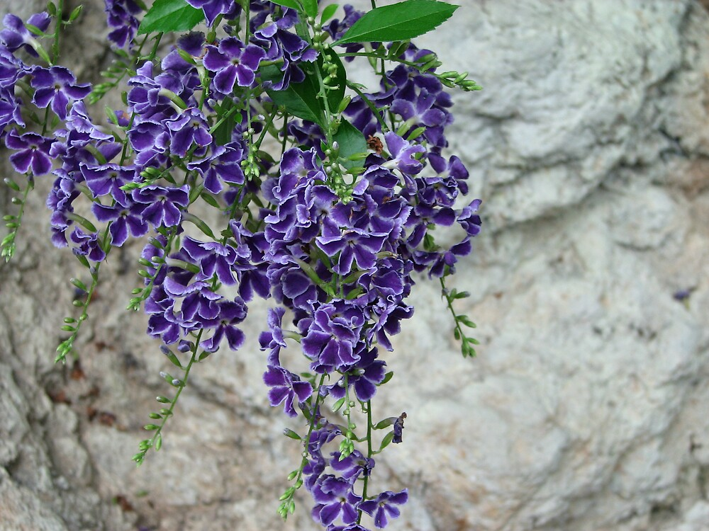 Hanging Purple Flowers by IndyLady