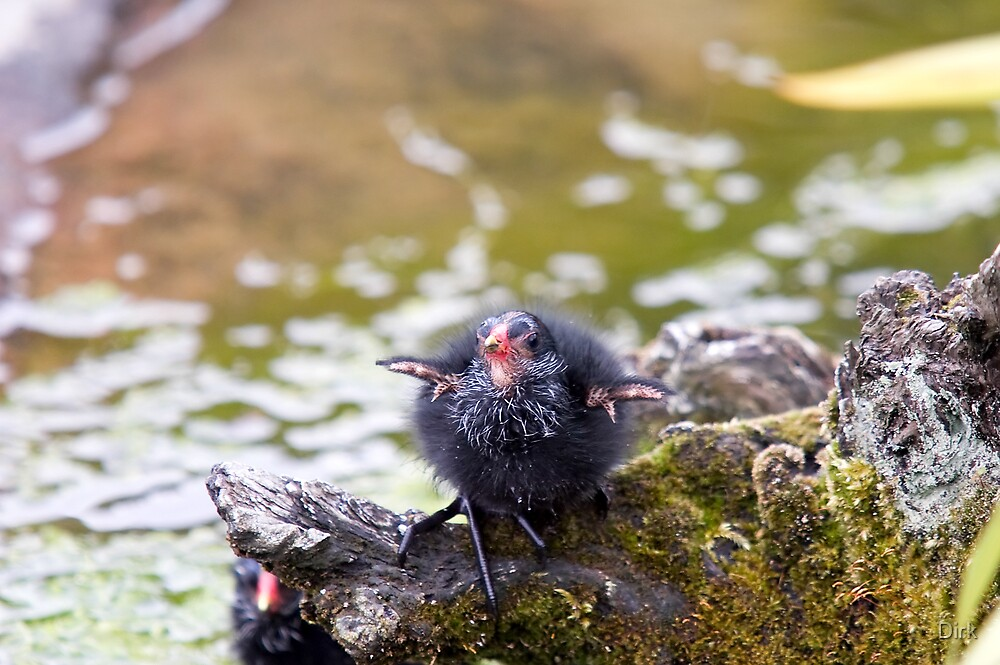 Baby Coot by Dirk