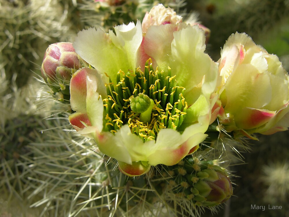 Cactus Flower by Mary  Lane