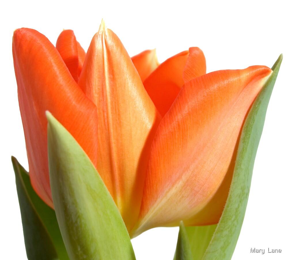 Orange Tulip by Mary  Lane