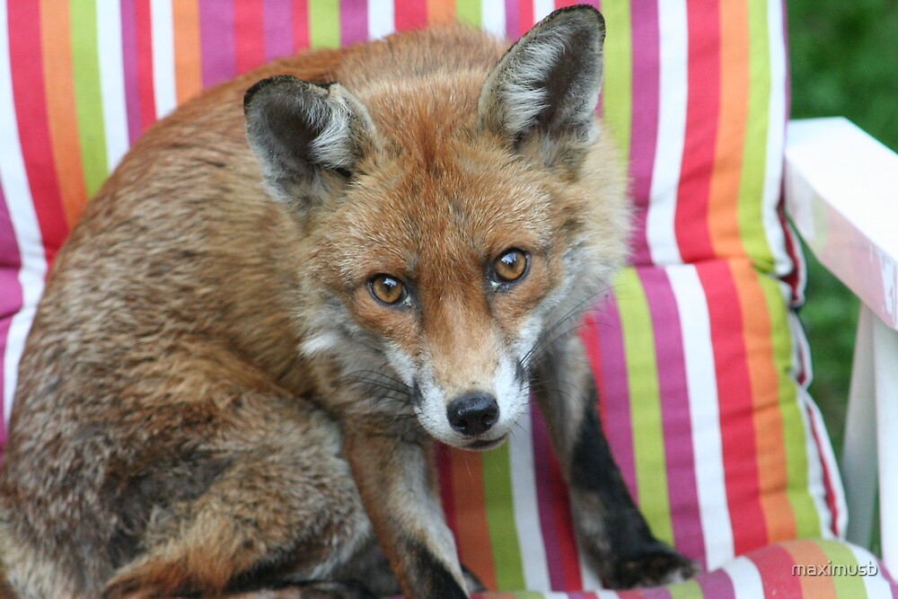 fox by maximusb