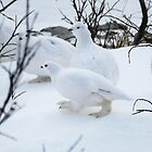 Feather-footed Ptarmigan by Linda Sparks