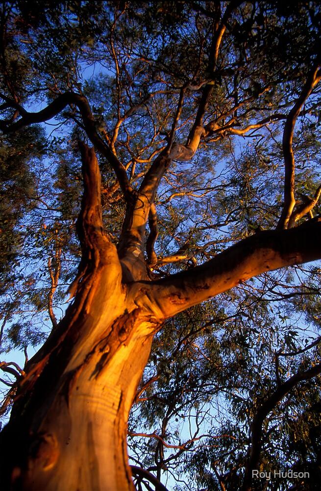 Gum Tree by Roy Hudson