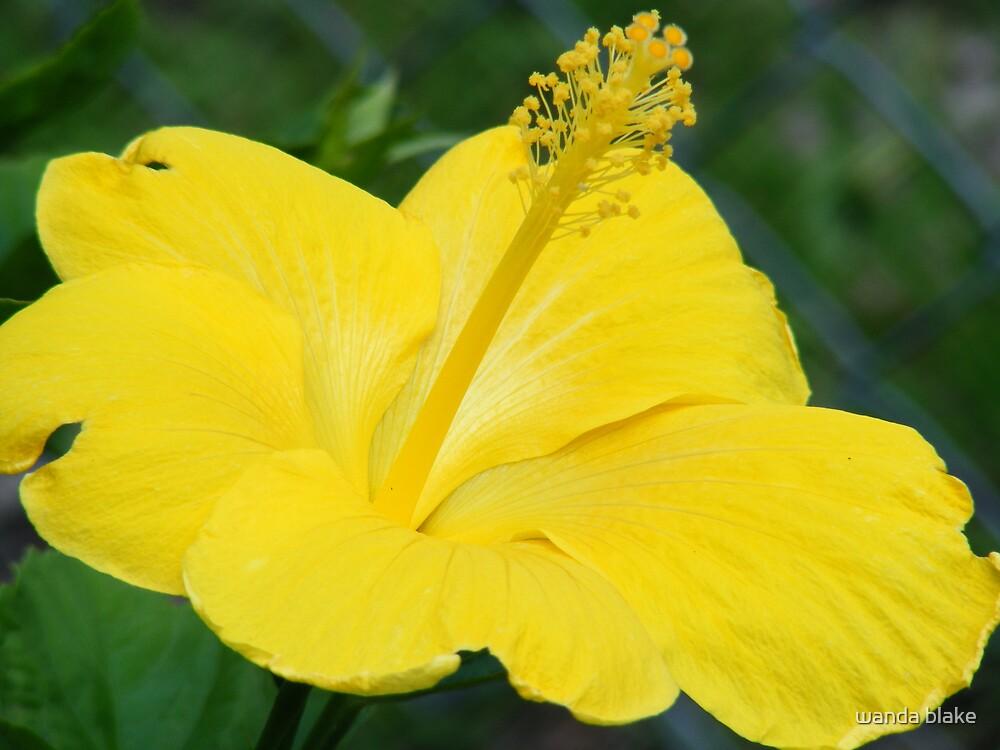 yellow hibiscus by wanda blake