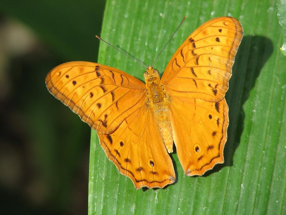 Butterfly Dreaming by kooljunk
