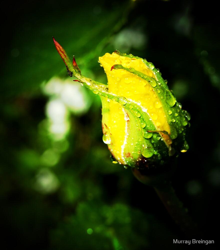 Yellow Rose by Murray Breingan