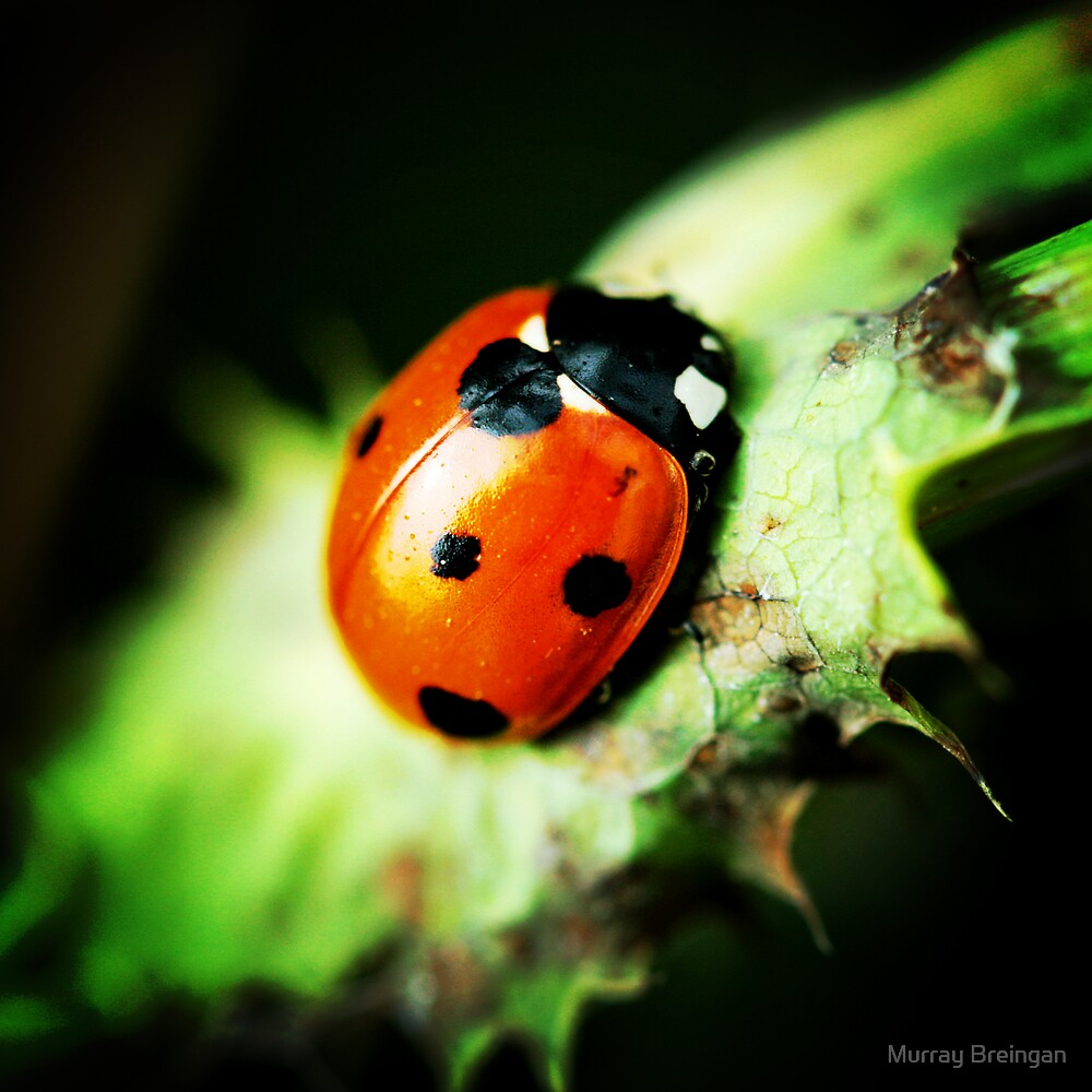 Ladybird by Murray Breingan