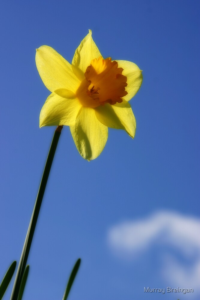 A daffodil by Murray Breingan