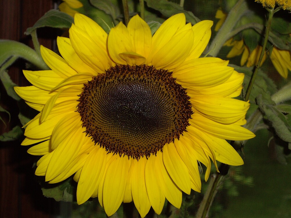 Sunflower by amadge