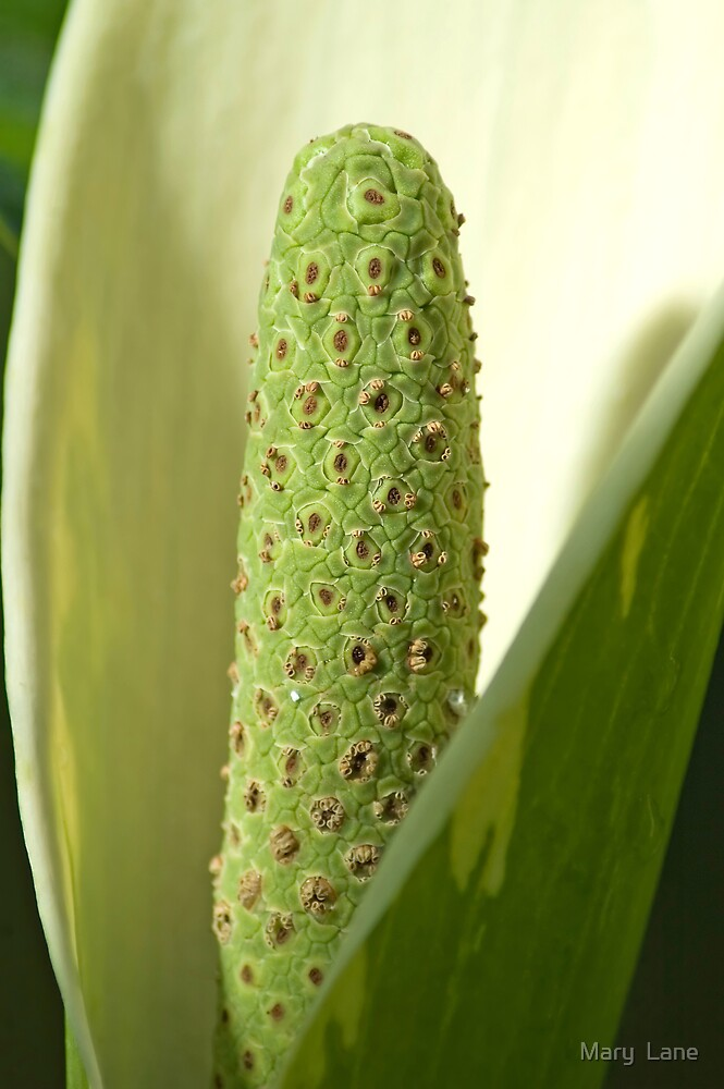 Green Anthurium by Mary  Lane