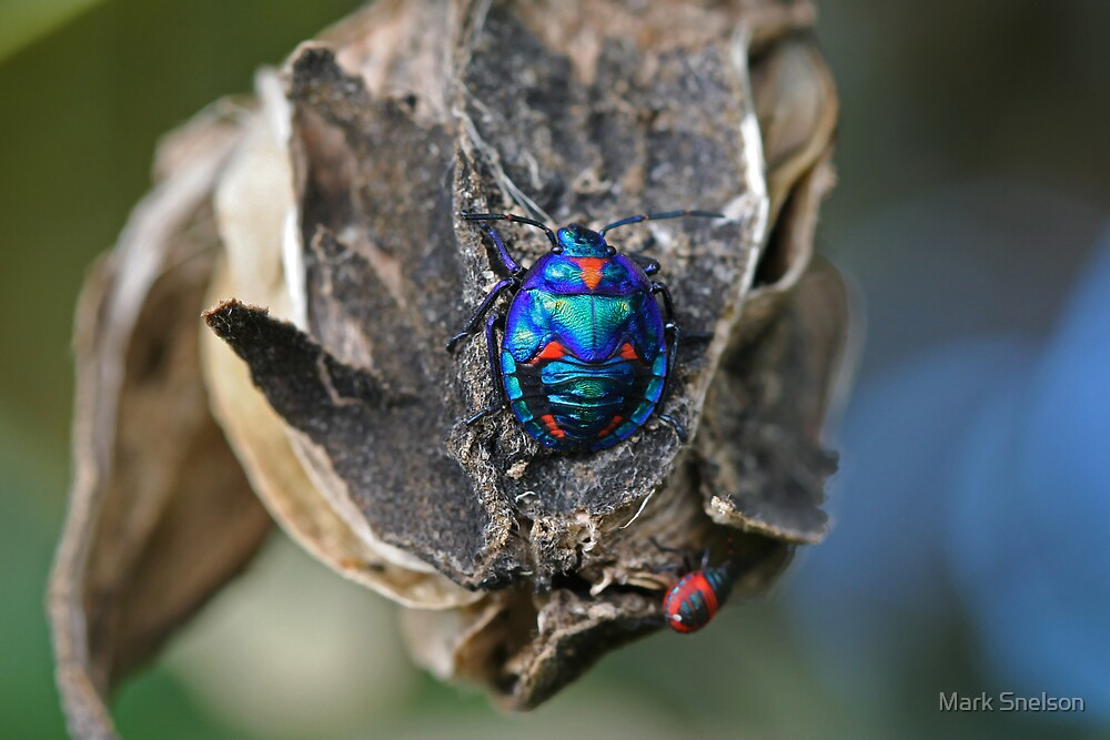 Cotton Harlequin Bug 12 by Mark Snelson